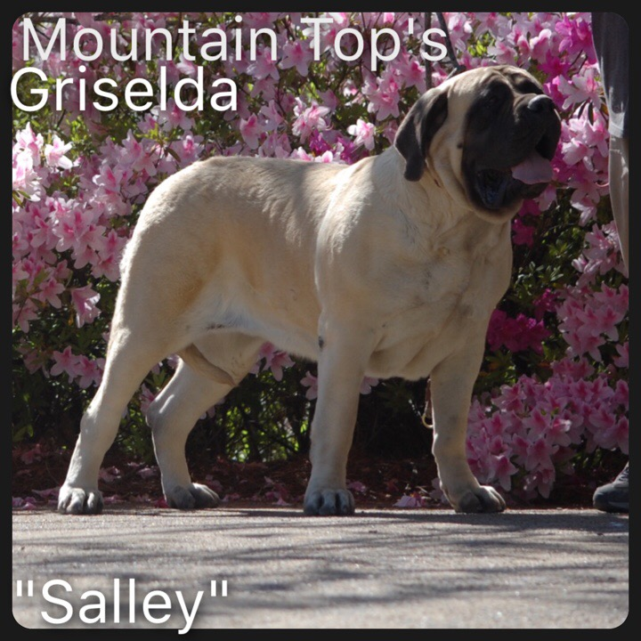 Welcome to Mountain Top Mastiffs - Breeders of English